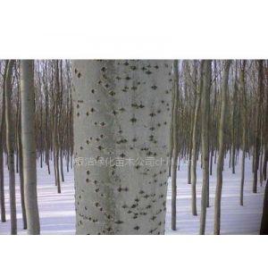银中杨,垂暴109柳,雄性全垂柳,中黑防——哈尔滨