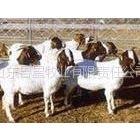 供应肉羊价格 波尔山羊养殖场 鲁星牧业集团
