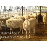 供应浙江小尾寒羊种公羊价格宁波波尔多少钱一斤?