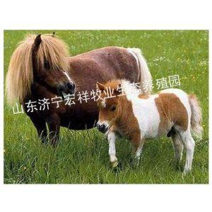 供应骑乘马市场价格行情走势,现在的矮马价格,的矮马多少钱一匹,一般的矮马多少钱一匹