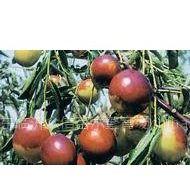供应甜柿苗,油桃苗.枣树苗,花椒苗