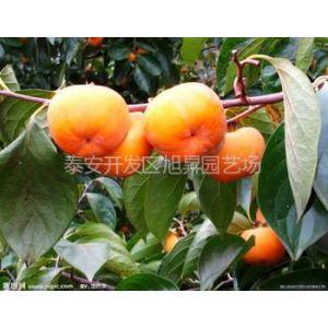 供应柿子树苗