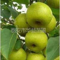 供应好品种梨树苗、便宜梨树苗、梨树苗价格