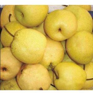 供应优质砀山梨原料/优质砀山酥梨