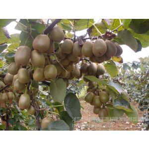 供应隆发奇异果种苗红心猕猴桃果树苗红阳猕猴桃嫁接苗当年试果