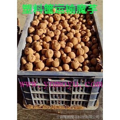 魔芋种子价格 魔芋种子批发 规格5~20克全国包邮