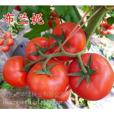供应高产抗病红果番茄种子—布兰妮