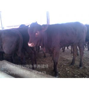 供应哪里有生长快的肉牛犊-兴和肉牛养殖场-小牛犊价格