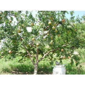 出售石榴苗 供应石榴苗 哪里有石榴树