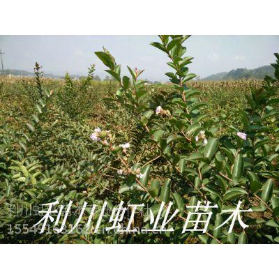 湖北恩施利川1米以上紫薇小苗紫薇种子(又名百日红)