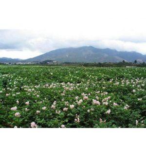 北京2014优质的脱毒土豆种子价格低得想不到
