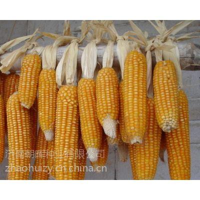 供应高产玉米种子京单28
