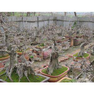 供应对节白蜡树桩 盆景 造型树 全冠对节白蜡