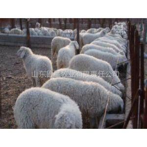 供应小尾寒羊多少钱|小尾寒羊养殖利润分析
