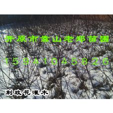 供应黄刺玫小苗|红刺玫灌木|优质刺玫花价格|东北绿化小苗批发|辽宁苗木种子求购