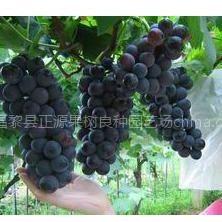 昌黎正源苗木基地供应早熟新品种黑色甜菜葡萄苗