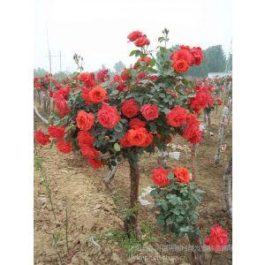 供应树状月季 树形月季花苗 嫁接双色月季花树苗 适应性强 大花浓香2株起邮