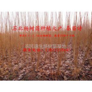 供应山东临清108杨树苗种植基地 出售杨树苗