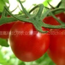 供应番茄种子  进口番茄种子