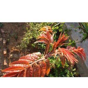 供应红油香椿种 香椿芽种 香椿芽苗菜 山东红香椿