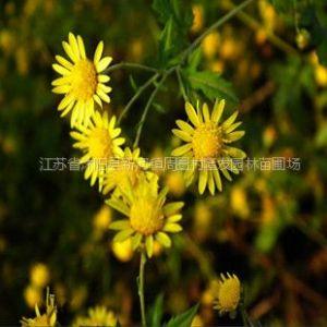 供应药材种子花卉种子-野菊花种子