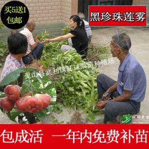 供应广西莲雾育苗基地位于广西钦州市灵山县武利镇汉塘村15207770444
