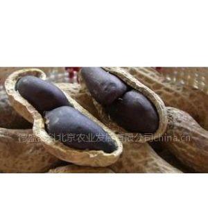 供应黑花生种子 高产黑花生种子