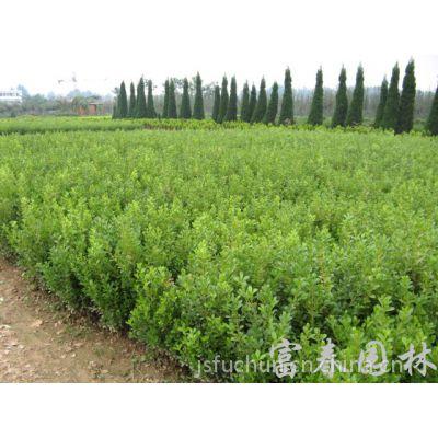 常年批发供应小叶黄杨苗 工程苗 小叶黄杨球 量大优惠 庭院绿化苗木 欢迎来电