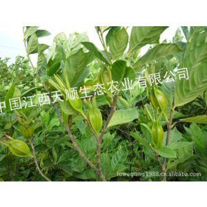供应种植基地直供栀子干果 水栀子  山栀子  天然色素原料  植物原药材