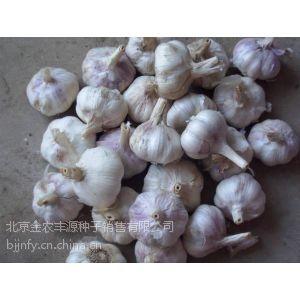 供应2014年全新山东大蒜种子价格行情 早苔航蒜价格 金蒜1号大蒜种子