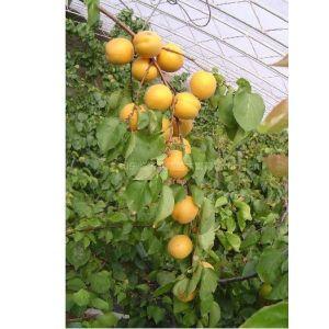供应核桃苗,梨树苗,油桃苗,杏树苗,柿子苗