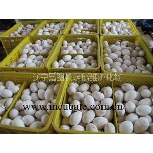 供应通化鹅雏、白城鹅雏、鹅种蛋