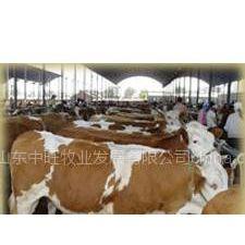 供应肉牛养殖场 肉牛养殖 山东嘉祥中旺牧业万头肉牛养殖场