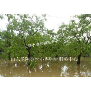 供应哪里生产鲜枣?山东省乐陵市