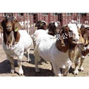 供应苏州波尔山羊养殖场15275758822