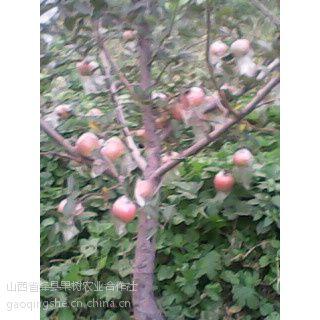 供应山西1-15公分苹果树 梨树 柿子树山杏树 山桃树
