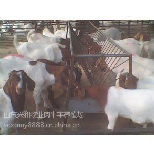 供应波尔山羊养殖波尔山羊养殖场山羊价格