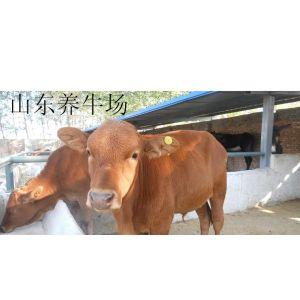 晋城市养的肉牛都卖到什么地方 肉牛的饲养成本