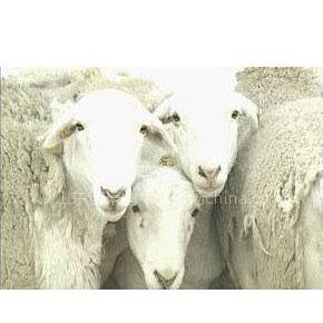 供应江西肉牛养殖场供应日本肉牛改良肉牛波尔山羊