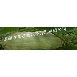 供应绿巨人大南瓜种子