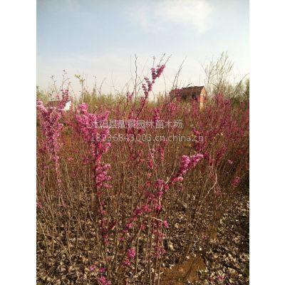 紫荆苗60-150公分高 满条红 紫荆丛生 巨紫荆 紫荆 价格