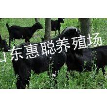 供应哪里有黑山羊养殖场