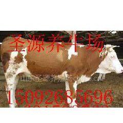 供应内蒙古自治区什么地方卖牛什么地方卖肉牛黄牛牛犊牛苗的