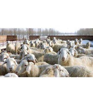 供应杜泊养殖技术,杜泊种羊供应