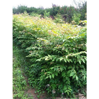 供应栾树苗50-200公分高1-3公分 栾树小苗 栾树价格