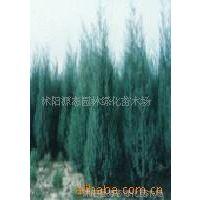 供应海桐、红叶石楠小苗、法国冬青、棕榈、剑麻