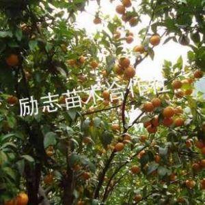 供应柿子苗;磨盘柿 日本甜柿 板柿 八月红 胎里红 牛心柿 次郎 小方红