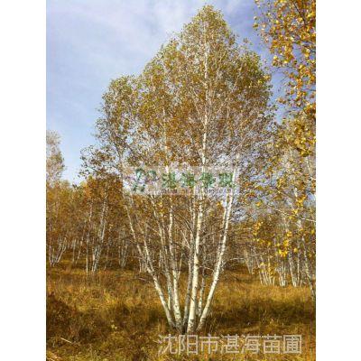 供应 精品白桦 供应白桦 景观树 丛生白桦