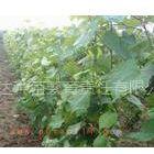 供应葡萄苗品种大全 葡萄苗种植基地 苗农低价处理优质品种葡萄苗