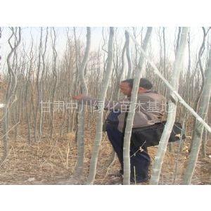 供应供应西藏拉萨新疆杨树苗
